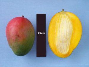keitt-mango